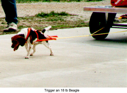 Working Big Dogs About Dog Harnesses. Weight Pulling Harness Trigger. Wiring. Homemade Dog Pulling Harness At Scoala.co